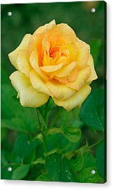 Yellow Rose Acrylic Print by Atiketta Sangasaeng