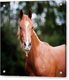 Young Brown Quarter Horse Acrylic Print by Jorja M. Vornheder