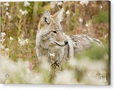 Young Coyote Canis Latrans In A Forest Acrylic Print by Philippe Widling