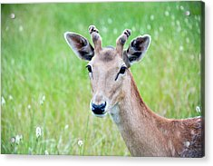 Young Fawn, Red Fallow Deer Buck Acrylic Print by Sharon Vos-Arnold