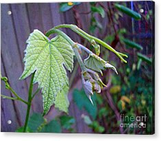 Young Grape Leaves Acrylic Print by Padre Art