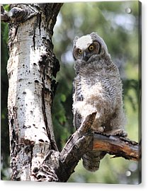 Young Owl Acrylic Print by Shane Bechler