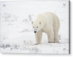 Young Polar Bear Ursus Maritimus Walks Acrylic Print by Richard Wear