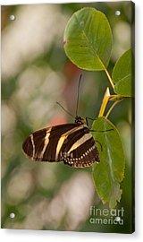 Zebra Longwing Butterfly Acrylic Print by Dejan Jovanovic