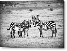 Zebras In Black And White Acrylic Print by Sebastian Musial