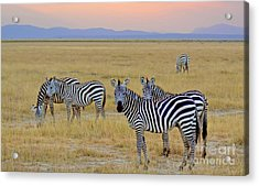Zebras In The Morning Acrylic Print by Pravine Chester