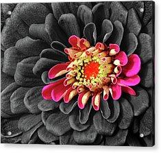 Zinnia Acrylic Print by Dave Mills