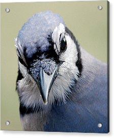 Blue Jay Acrylic Print by Skip Willits