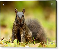 Curious Black Squirrel Acrylic Print by Mircea Costina Photography