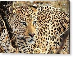 Leopard Eyes Acrylic Print by Tom Cheatham