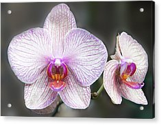 Orchid Flowers Acrylic Print by Art Spectrum