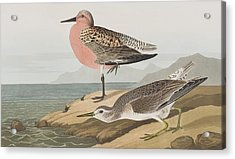 Red-breasted Sandpiper  Acrylic Print by John James Audubon