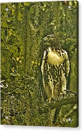 Red-tail Posing Acrylic Print by Phill Doherty