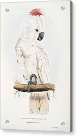 Salmon-crested Cockatoo Acrylic Print by MotionAge Designs
