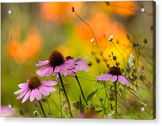 Coneflower Symphony Acrylic Print by Mary Amerman