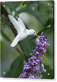 Albino Ruby-throated Hummingbird Acrylic Print by Kevin Shank Family