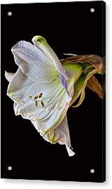 Amaryllis Acrylic Print by Robert Ullmann