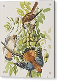 American Sparrow Hawk Acrylic Print by John James Audubon
