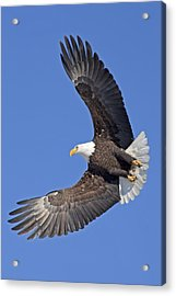Bald Eagle In Flight Acrylic Print by Tim Grams