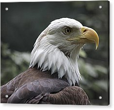Bald Eagle Acrylic Print by Yosi Cupano