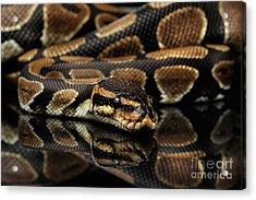 Ball Or Royal Python Snake On Isolated Black Background Acrylic Print by Sergey Taran