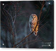 Barred Owl Acrylic Print by Benjamin Williamson
