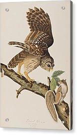 Barred Owl Acrylic Print by John James Audubon