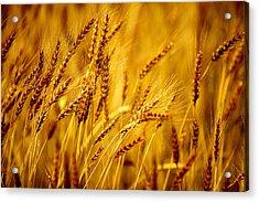 Bearded Barley Acrylic Print by Todd Klassy