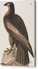 Bird Of Washington Acrylic Print by John James Audubon