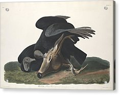 Black Vulture Acrylic Print by John James Audubon