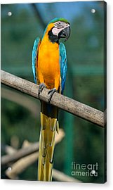 Blue And Gold Macaw Acrylic Print by George Atsametakis