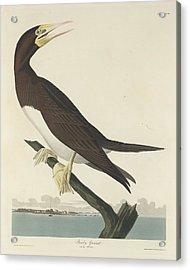 Booby Gannet Acrylic Print by John James Audubon