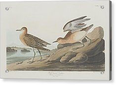 Buff-breasted Sandpiper Acrylic Print by John James Audubon