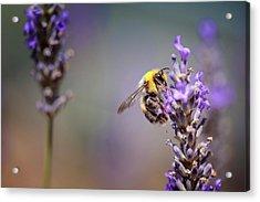 Bumblebee And Lavender Acrylic Print by Nailia Schwarz