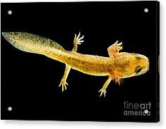 California Giant Salamander Larva Acrylic Print by Dant� Fenolio