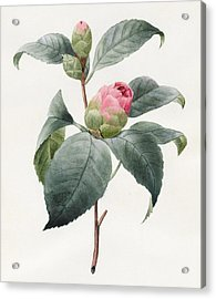 Camellia Acrylic Print by Louise D'Orleans