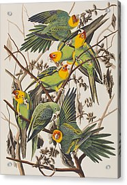 Carolina Parrot Acrylic Print by John James Audubon