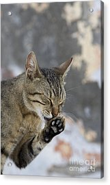 Cat Grooming In Greece Acrylic Print by Jean-Louis Klein & Marie-Luce Hubert