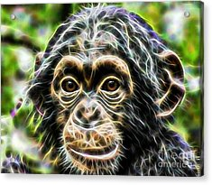 Chimpanzee Collection Acrylic Print by Marvin Blaine