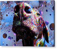 Chocolate Lab Nose Acrylic Print by Roger Wedegis