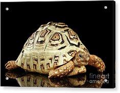 Closeup Leopard Tortoise Albino,stigmochelys Pardalis Turtle With White Shell On Isolated Black Back Acrylic Print by Sergey Taran
