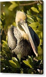 Closeup Portrait Of A Brown Pelican Acrylic Print by Tim Laman