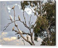 Cockatoos - Canberra - Australia Acrylic Print by Steven Ralser