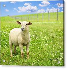 Cute Young Sheep Acrylic Print by Elena Elisseeva