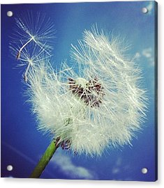 Dandelion And Blue Sky Acrylic Print by Matthias Hauser