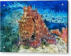 Fiji, Day Octopus Acrylic Print by Dave Fleetham - Printscapes