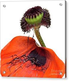 Flower Poppy In Studio Acrylic Print by Bernard Jaubert