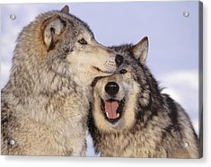Gray Wolves Acrylic Print by John Hyde - Printscapes