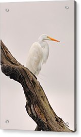 Great White Acrylic Print by Donnie Smith