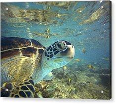 Green Sea Turtle Balicasag Island Acrylic Print by Tim Fitzharris